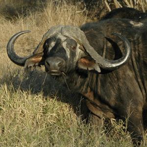 Buffalo Klaserie Hunting | Buffalo  Timbavati Hunting |  Buffalo Timbavati Game Reserve Hunting | Buffalo Klaserie Game Reserve Hunting