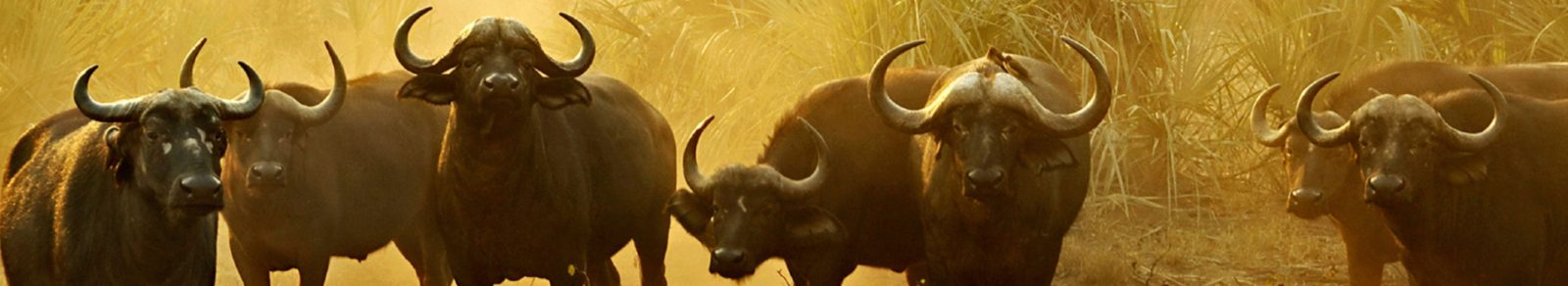 Cape Buffalo Hunting in Africa  Graham Sales Safaris