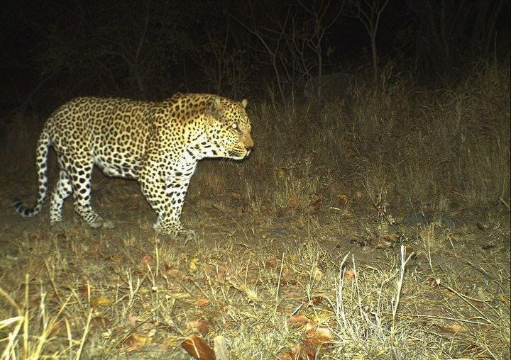 , Leopard Hunting