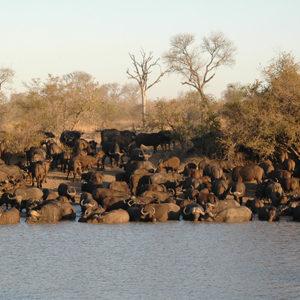 Timbavati-Buffalo-herd